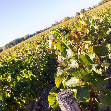 Le château Luchey-Halde : un vignoble agroécologique expérimental