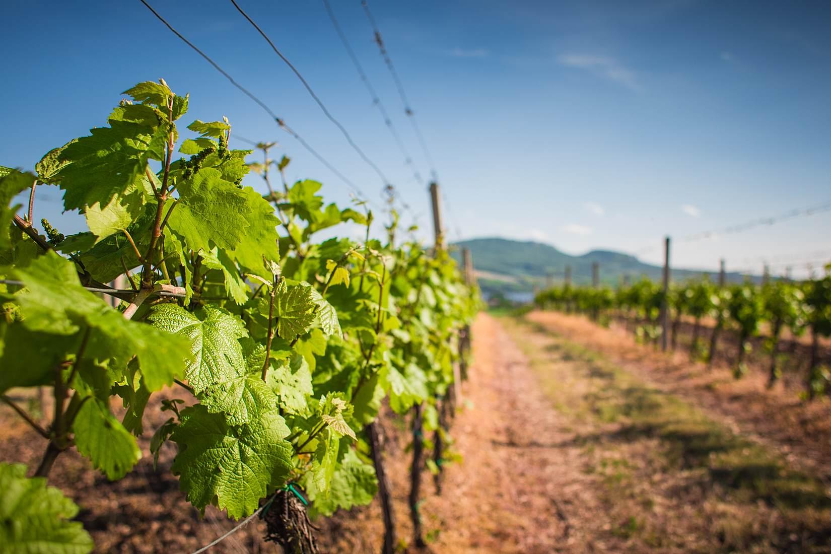 Climwine : Adaptation du vignoble aux changements climatiques
