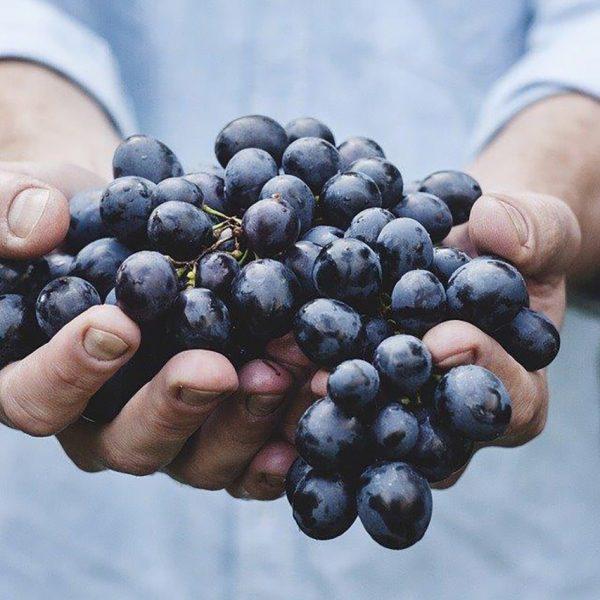 Viticulture et œnologie : éléments fondamentaux