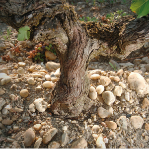 Lancement de la 1ère chaire industrielle pour la lutte contre les maladies du bois de la vigne