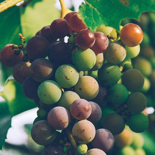 Protection durable de la vigne
