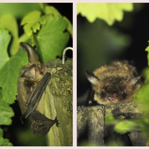 Nuit de la chauve-souris : découvrir sa vie et son utilité dans les vignes